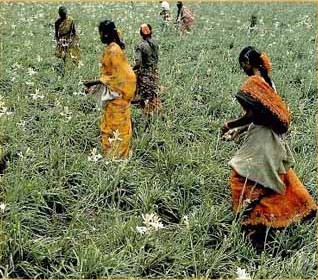 picking tuberose